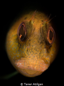 Snooted blenny by Taner Atilgan