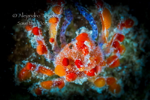 Funny Crab, Flamingo Reef Bonaire by Alejandro Topete