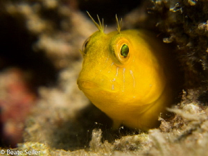 Yellow Blenny by Beate Seiler