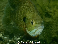 A Bluegill Sunfish photographed in local Quarry near Lake... by David Gilchrist