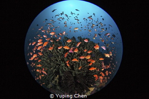 Fish Kaleidoscope/Lembeh strait, Indonesia, Canon 5D Mark... by Yuping Chen