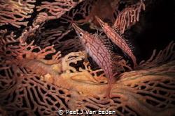 Longnose hawkfish couple by Peet J Van Eeden