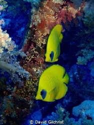 A pair of Masked Butterflyfish swim the reefs of the Red ... by David Gilchrist