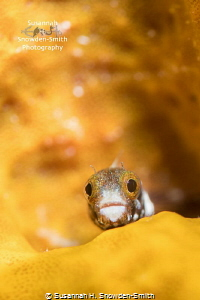 """""""My Orange, Orange Home""""  A little blenny peers out fro... by Susannah H. Snowden-Smith"""