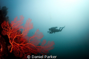 RED CORAL WIFE FISH I absolutely love these fiery red fa... by Daniel Parker