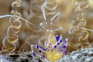 Pedersen cleaner shrimp by John Roach