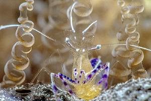 Pedersen cleaner shrimp by John Roach