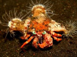 Crab with beautiful blue eyes!(Using my new (Canon 20d) 6... by Danielle Caceres-Bricheno