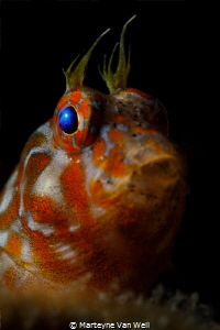 Orange-spotted blenny, Hypleurochilus springeri, poking i... by Marteyne Van Well