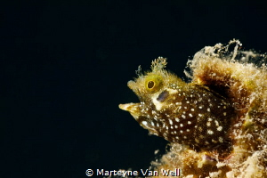 Secretary blenny by Marteyne Van Well