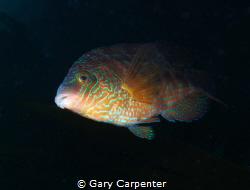 Corkwing Wrasse, taken in Dunmanus Bay, County Cork, Irel... by Gary Carpenter