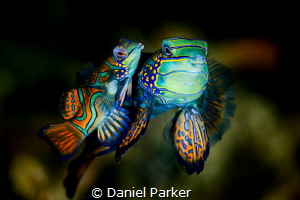 MANDARIN MATING DANCE by Daniel Parker