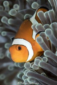 Clownfish, Tulamben, Bali by Tobias Reitmayr
