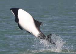 Commerson Dolphin (Jakobiter Delphin -Cephalorhynchus com... by Ralf Levc