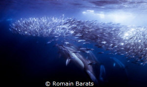 sardine run by Romain Barats
