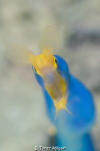 Same ribbon eel (backlit one from last month), same dive,... by Taner Atilgan