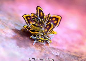 BROOCH Cyerce nigra .Butterfly.Romblon by Tianhong Wang