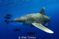 Oceanic white tip shark close by Gleb Tolstov
