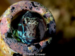 Blenny in a bottle by Twila Grower