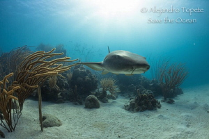 Nurse Shark and Sun Rays, Chinchorro México by Alejandro Topete