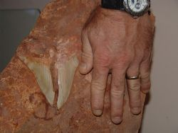 I found this prehistoric sharks tooth about 4km from the ... by Natasha Tate