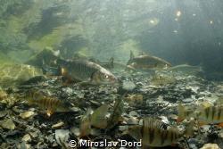 Fish party; Výkleky lake by Miroslav Ďorď