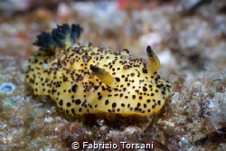 A wonderful nudibranch by Fabrizio Torsani