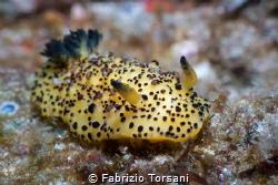 A wonderful nudibranch by Fabrizio Torsani