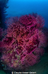 50 shades of RED ......... Red gorgonia by Claudia Weber-Gebert