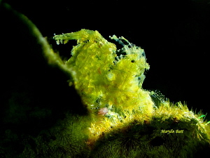 Green algae shrimp with eggs. by Marylin Batt