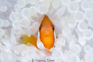 Living in the White/Tomato Anemonefish/Ishigaki, Okinawa,... by Yuping Chen