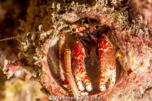 An Helmit crab at  Korumar, Kusadasi. by Mehmet Salih Bilal