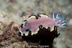 A nice nudibranch by Fabrizio Torsani