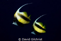 A pair of Red Sea Banner fish (Heniochus intermedius). by David Gilchrist