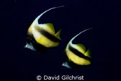A pair of Red Sea Banner fish (Heniochus intermedius). by David Gilchrist