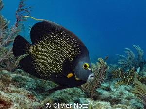 French Angelfish, Davis Ledge by Olivier Notz