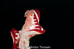 A flying nudibranch by Fabrizio Torsani