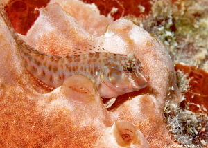 Oyster Blenny Hypleurochilus pseudoaequipinnus Bonaire NA by John Roach
