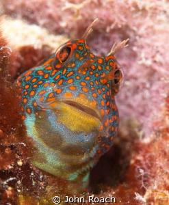 Tessellatted Blenny  Hypsoblennius invemar Bonaire NA  by John Roach