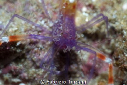A very shy shrimp by Fabrizio Torsani