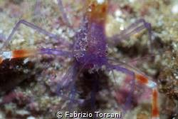 A very shy shrimp by Fabrizio Torsani