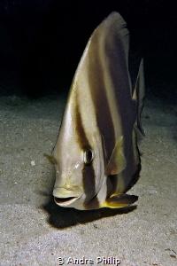 """""""What a cute face"""" - A Circular batfish (Platax orbicularis) by Andre Philip"""