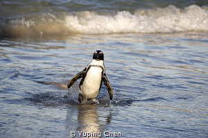 Penguin/Camp Town, South Africa,Canon 5D MarkIII, 100-400... by Yuping Chen