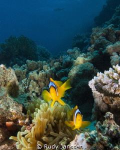 Clown fish wide angle by Rudy Janssen