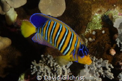 A Royal Angelfish majestically swims the coral reefs of t... by David Gilchrist