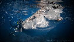 B I G - F I S H Whale shark (Rhincodon typus) Oslob, Ph... by Irwin Ang