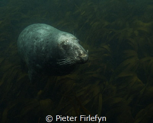 seal by Pieter Firlefyn