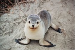 Baby Sea Lion - Kangaroo Island by Morgan Ashton