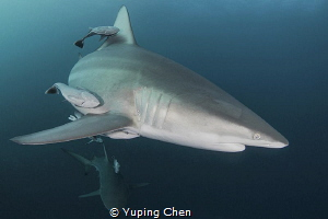 Oceanic Blacktip Shark/Aliwal Shoals,Durban, South Africa... by Yuping Chen