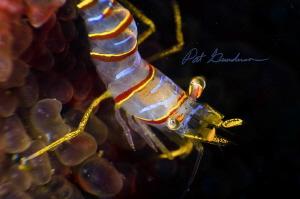 Head Shot,  Lebbeus grandimanus by Pat Gunderson